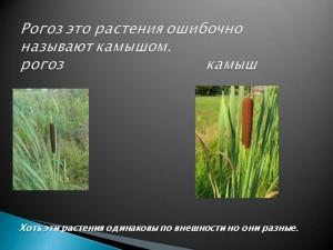 0005-005-Rogoz-eto-rastenija-oshibochno-nazyvajut-kamyshom