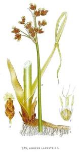 Scirpus_lacustris